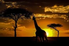 20-2-Dominique-G-Girafe nuit