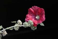 Gilles D :Rose trémière