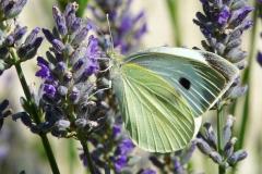 Pierre-P Papillon lavande