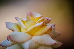 Pierre-P Rose